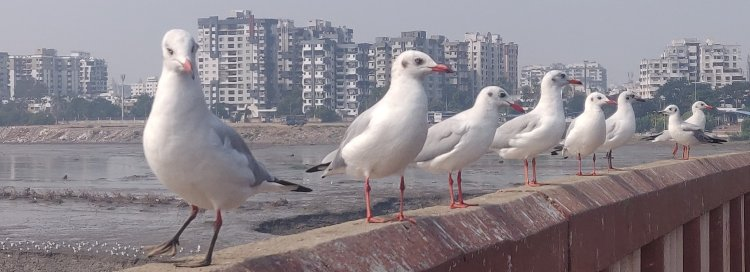 Seagulls at Makkai Pool Bridge railing waiting for food from ongoing commuters in Surat
